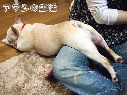 犬の寝相。甘え像