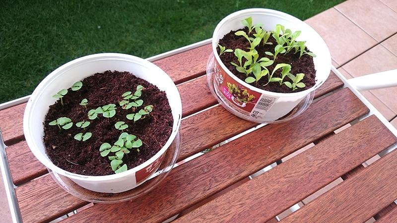 種まいて2週間ほど経過。育てるサラダとか水耕栽培とか