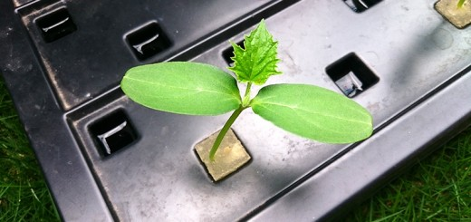 キューリの新芽