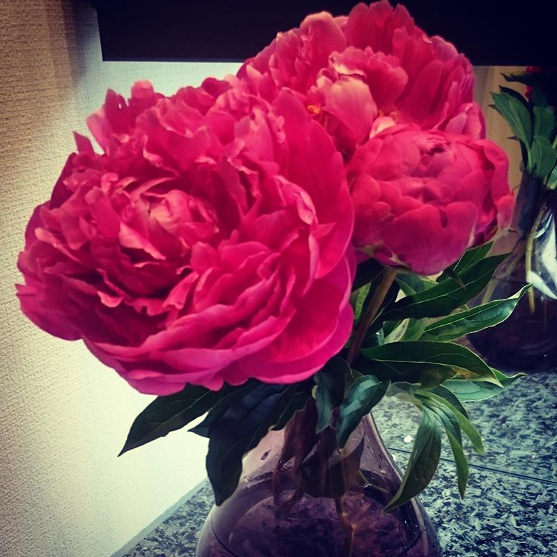 芍薬のピンク