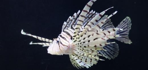 小林幸子風のお魚