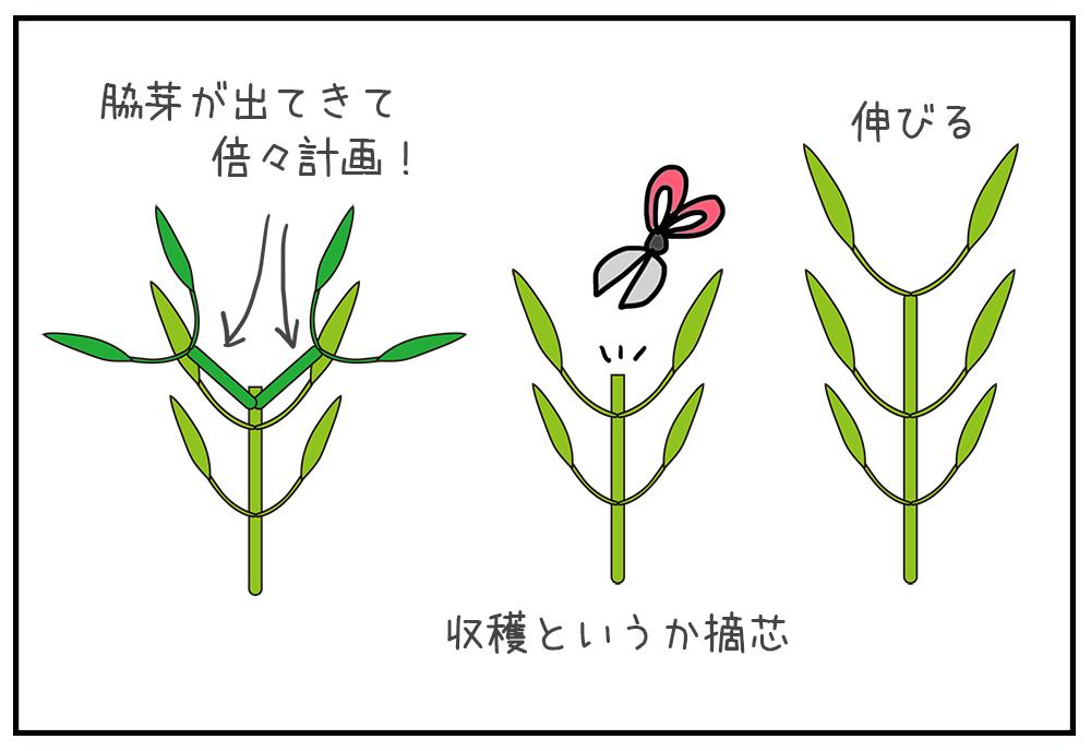 空芯菜の摘芯