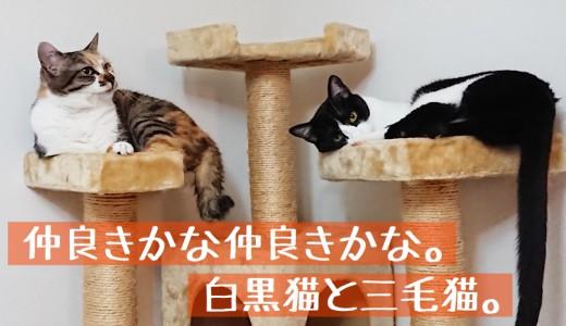 仲良きかな仲良きかな。白黒猫と三毛猫。